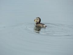You are yummy (jeffsmith565@yahoo) Tags: blue lake bird eye water duck spring pond colorado wildlife lakewood harriman crawdad jeffsmith