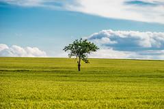 sky - clouds - tree - cornfield (ChrisTalentfrei) Tags: blue sky tree field clouds cornfield sony feld himmel telephoto lonely fe blau alpha 70200 ff baum f4 a7 weinberg oss allein ilce7