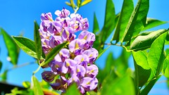 My Wistera survived its first Canadian winter. (CCphotoworks) Tags: wisteria purplewisteria prettyflowers climbingplants floweringvines