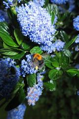 bee collecting pollen (ajtodd1) Tags: blue nature garden bees pollen collecting