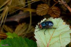 No paraba...1 (loriagaon) Tags: espaa plants naturaleza macro nature animals plantas asturias animales mosca bulnes loria loriagaon rx10lll sonyrx10lll sonydscrx10iii
