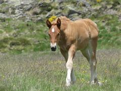 P1000237 (Franois Magne) Tags: cheval libert poulain jument blond blonde bai frange montagne etang lanoux estany de lanos lac pyrnes