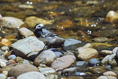 Lavandera blanca (Ru GarFer) Tags: bird ro agua blanca ave roca cantabria potes pjaro lavandera motacillaalba posado cauce txoria