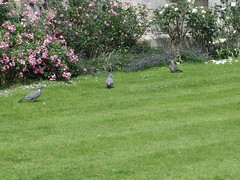 Pigeons (Arkensiel Photographs) Tags: cambridge birds pigeons united kingdom