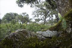 Crotalus lepidus morulus - Tamaulipan Rock Rattlesnake (Ben L. Stupavsky) Tags: trees cactus green nature animal rock canon mexico moss reptile snake sierra leon oriental habitat rattlesnake nuevo madre herp crotalus herpetofauna lepidus morulus tamaulipan