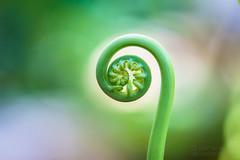 Fiddlehead Fern (jciv) Tags: fern fiddleheadfern spiral file:name=dsc03589 macro plant curl