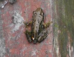 New Frog (carolinewright32) Tags: frog compost heap tadpole metamorphosis