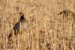 Perdrix rouge (patricegalvand) Tags: oiseau gallinaces galliformes perdrixrouge alectorisrufa culture cereale chaume bouchesdurhone france