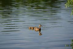 DSC_0005 (rachelle571) Tags: lake water reflections dam ducks ducklings mallard holmes