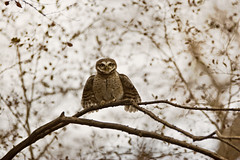 AS_000001785 (dickysingh) Tags: wild india color bird nature horizontal wings eyes display wildlife owl stare predator alert ranthambore spottedowlet athenebrama ranthambhorenationalpark threatdisplay smallowl wwwranthambhorecom