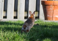 On the Move! (praja38) Tags: life ontario canada rabbit nature animal mammal backyard wildlife tail ears running move behind hopping bowmanville cottontail easterncottontail