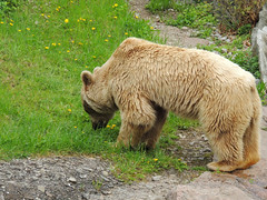 Brown Bear (MarkusR.) Tags: bear animal germany zoo stuttgart predator botanicalgarden tier br braunbr brownbear wilhelma ursusarctos badenwrttemberg badenwuerttemberg zoologicalgarden 2013 raubtier markusrieder mrieder 20130502np5027
