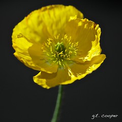 Yellow (cooper.gary) Tags: flower macro yellow flora colorado unitedstates denver stamen pedals danisgarden