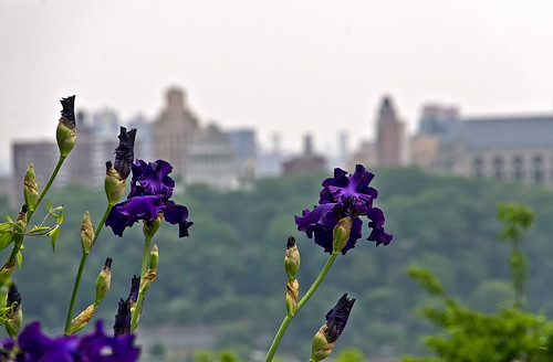 Dutch Iris and Manhattan