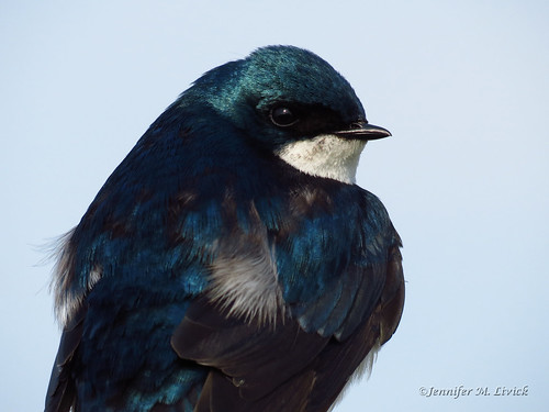 Tree Swallow portrait IMG_7765c