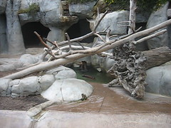 San Diego Zoo (Harobed and Samoht) Tags: california bear vacation playing water animal mammal zoo sandiego grizzly sandiegozoo 2013