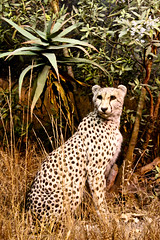 Cheetah (Zenobia Gonsalves) Tags: africa nyc newyorkcity wild vacation plants ny newyork animal museum canon mammal feline centralpark manhattan wildlife naturalhistory taxidermy spots vegetation cheetah diorama eastcoast 10024 biodiversity americanmuseumofnaturalhistory acinonyxjubatus 79thstreet africanwildlife africanmammal akeleyhallofafricanmammals carlakeley march2013 canoneosrebelt3i zenobiagonsalves