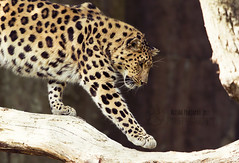 Tree climbing (Raveniith) Tags: wild tree male nature animal cat zoo spring big paw sweden wildlife may climbing leopard flickrbigcats