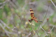 Florida Dragonfly (jfinnirwin) Tags: florida dragonfly insects floridawildlife identified halloweenpennant