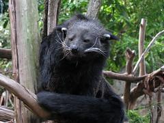 Binturongs (myopixia) Tags: taronga tarongazoo binturong asianbearcat arctictisbinturong myopixia