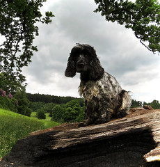 Dog on a Log (Photo Gal 2009) Tags: trees dog field log sitting otis sit spaniel cocker cockerspaniel blackandwhitedog ashtoncourt blueroan englishcockerspaniel bristolcitycouncil dogonlog blueroancocker bristolgreenspace showtypecocker cockerblueroan