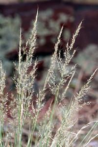 Photo - Mountain Muhly grass