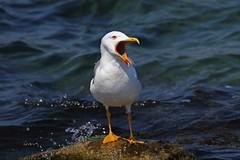 Yellow-legged Gull, Bulgaria. (Martin F Hughes) Tags: martin gulls bulgaria hughes seabirds yellowleggedgull elenite martinhughes bulgarianbirds bulgarianbirding bulgariabirds