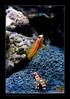 yasha-randalli9692_180913 (kactusficus) Tags: shrimp pistol association yasha symbiosis symbiose alpheus gobiidae commensalism randalli stonogobiops