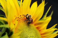 Pollen dusted bee (emilyabrams) Tags: summer macro yellow nikon bee busy sunflower pollen dusted