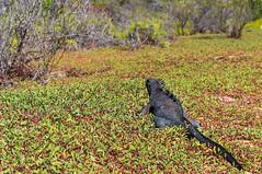 Descansando (Udri) Tags: ecuador amrica galapagos marineiguana amricadelsur 2013 iguanamarina taxonomy:binomial=amblyrhynchuscristatus viajecerrodragon