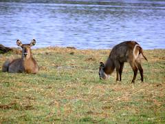 The waterbuck (Kobus ellipsiprymnus) (Linda DV) Tags: africa travel nature canon river geotagged nationalpark botswana bovidae chobe zambezi cuando waterbuck southernafrica 2013 kobusellipsiprymnus kwando geomapped lindadevolder powershotsx40