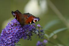 _DSC1300 (InGaa.) Tags: rot pflanze lila blau blume tier schmetterling blten flgel
