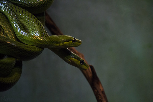 Red-Tailed Green Rat Snake4