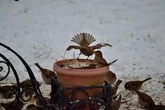 Survival 3 of 8 (DigitalCanvas72) Tags: winter food snow bird nature fight action flight bluejay sparrow series snowing feed survival nikkor55300mmvr nikond3100