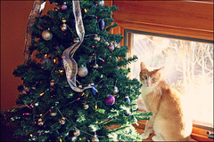 (K. Sawyer Photography) Tags: christmas tree cat christmastree ornaments ribbon
