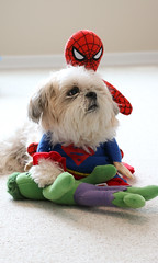 Playing 3 (karebear_stare) Tags: toys costume shihtzu spiderman superman hulk doggies