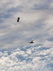 Bounced! (Mike Brebner) Tags: sea newzealand summer west bird beach birds clouds evening coast flying inflight fight nikon harbour walk contest flight attack january diving images auckland coastal nz chase aggression fighting aggressive tasman tern seabirds waterbirds chasing manukau sighting 2014 terns whatipu aggresive cmikebrebner