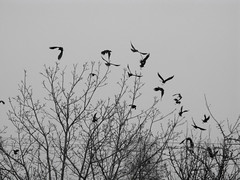 darker than the bats (tamasmatusik) Tags: crows crow varjak varjú depression révfülöp g9 monochrome blackandwhite nature trees winter birds silhouette bw grey