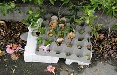 All Been Opened (Jocey K) Tags: street flowers newzealand christchurch nz egges whatyoufindonastreet