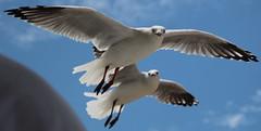 de zeemeeuw (36) (bertknot) Tags: seagulls seagull gull gulls mwe gaviota meeuw meeuwen gabbiano gaivota goland ms lokki zeemeeuw mge zeemeeuwen mewa sirly dalg   diemwe mouettedupegolandgolandbeccerclgolandargentgolandcendrgolandmarinmouetterieuse zeemeeuwenmeeuw