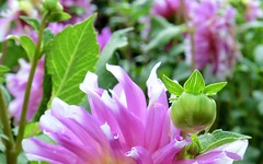 Welcome (farmspeedracer) Tags: pink summer plant flower green nature garden leaf blossom birth august