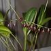 Pleurothallis restrepioides - Nico Goosens