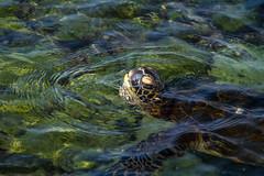 Green Sea Turtle (Kayla Stevenson) Tags: ocean usa beach water animals hawaii turtle bigisland greenseaturtle kiholobeach