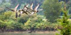 Canada Geese IMG_3330-4 (Orkakorak) Tags: geese inflight a1 canadagoose favescontestwinner herowinner ultraherowinner storybookwinner storybookttwwinner storybookmonthlywinner favescontesttopseed favescontestfavored storybookq14