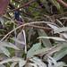 African Paradise-Flycatcher in Arba Minch