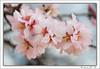 Desenfoque (© Marco Antonio Soler ) Tags: españa spain flora nikon 14 flor almond iso alicante desenfoque jpg hdr almendro 2014 alacant jijona xixona d80 blinkagain