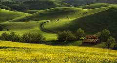 Spring is in ! (Sapna Reddy Photography) Tags: california light dublin nature grass barn landscape spring seasons cows farm hills foliage fields mustard greenery wildflowers ebparksok