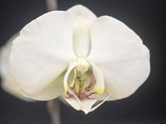 orchidea_Chieri2014_P4091408 copia (stegdino) Tags: white orchid flower macro closeup fiore bianco onblack odc orchidea ourdailychallenge