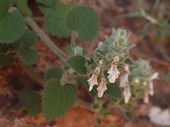 Stachys saxicola Coss. & Balansa (Peter M Greenwood) Tags: cascades stachys saxicola douzoud stachyssaxicola