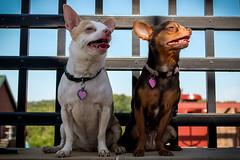 Dogs-4 (larry.nutt) Tags: dogs baci bella